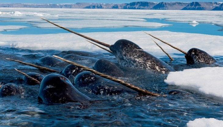 unicornios marinos en peligro de extinción