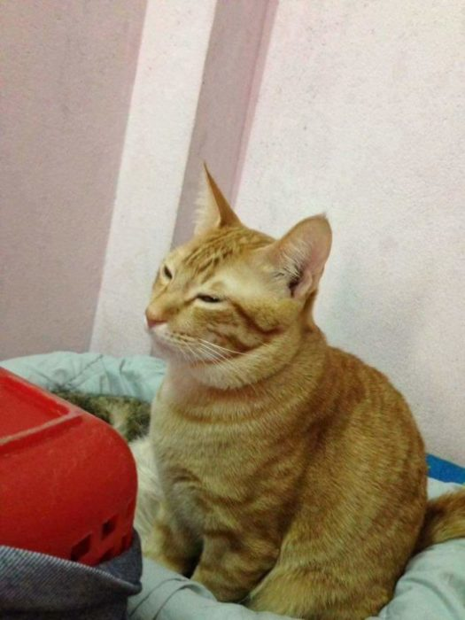 gato nervioso amarillo yello