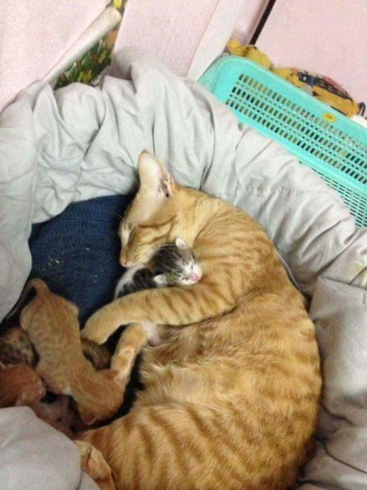 gato cuidando cachorros
