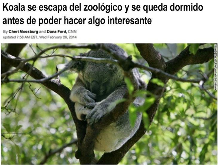 koala dormido en una rama