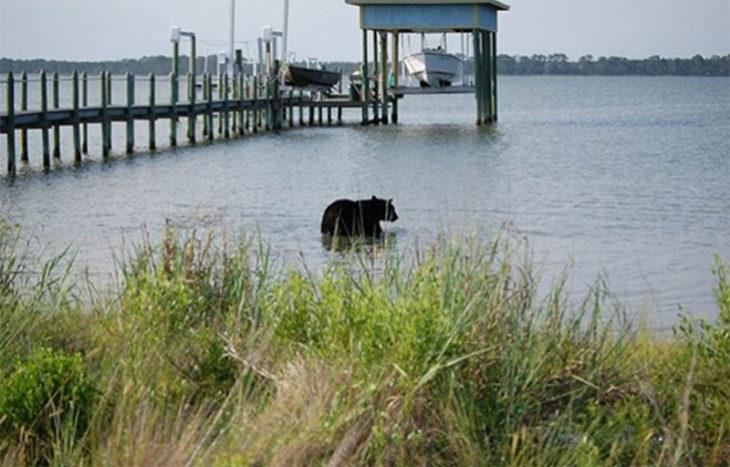 oso negro metiéndose al mar