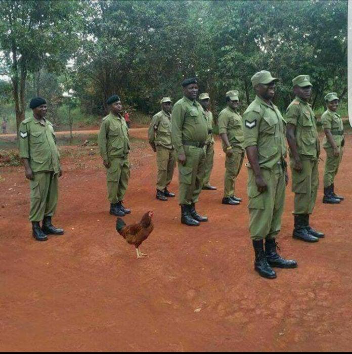 pollo en formación de ejército