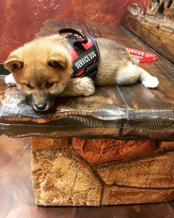 cachorro de servicio recostado en un escalón de madera