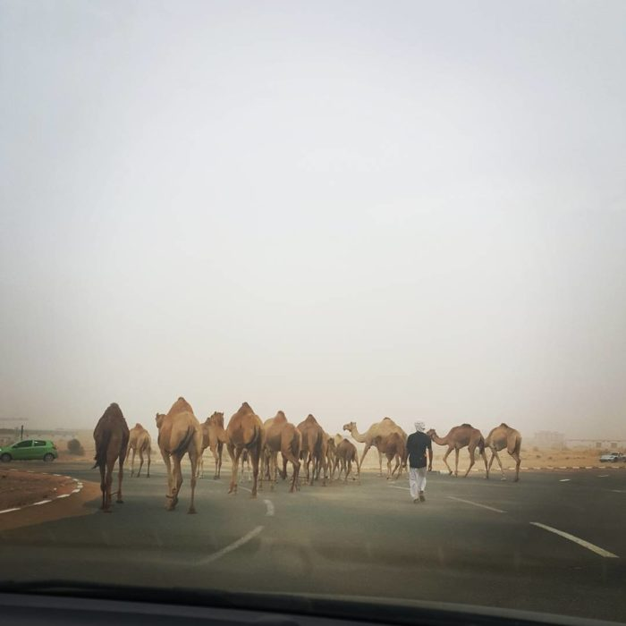 varios camellos en una carretera
