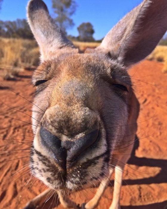 Selfie canguro feliz