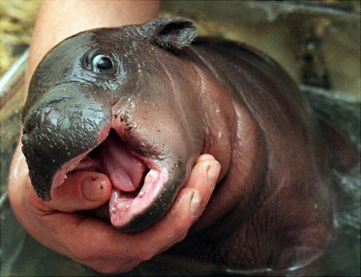 hipopotamo bebé