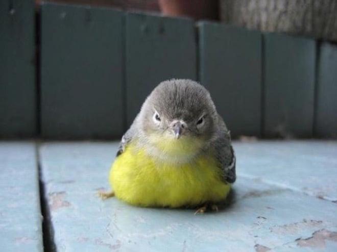pájaro enojado amarillo