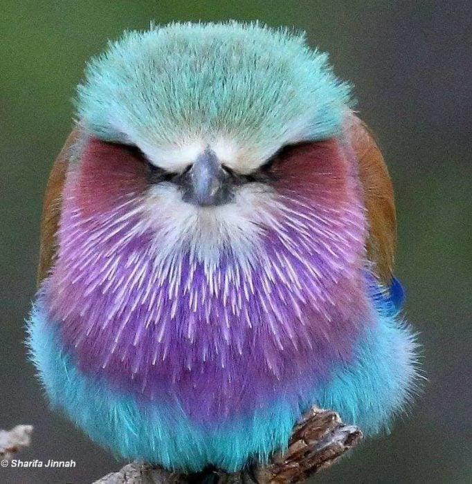 ave azul enojada