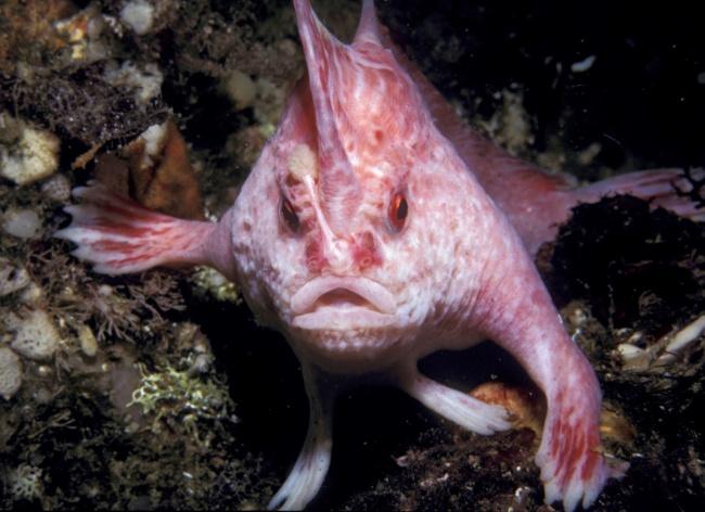 handfish rosa