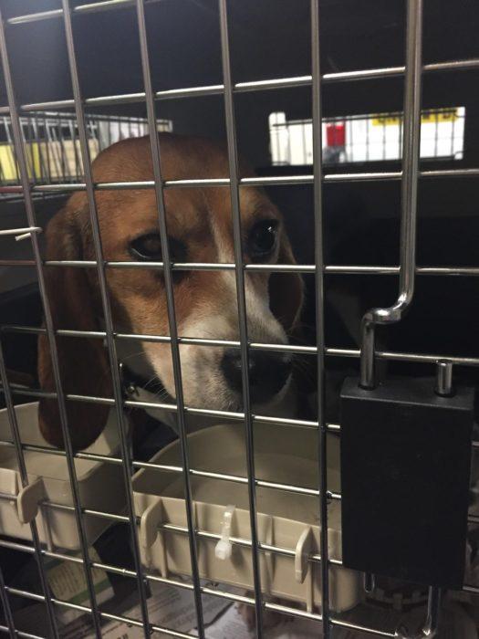beagle en jaula