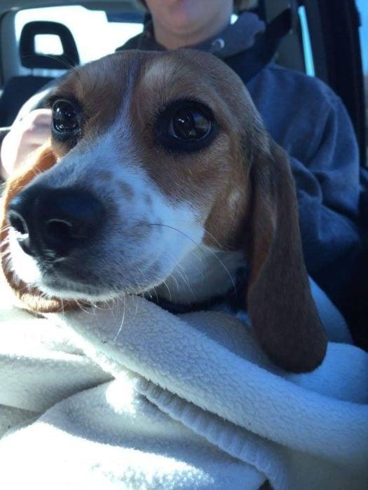 beagle en el carro cara asustado