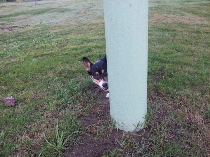 corgi asomándose detrás de poste