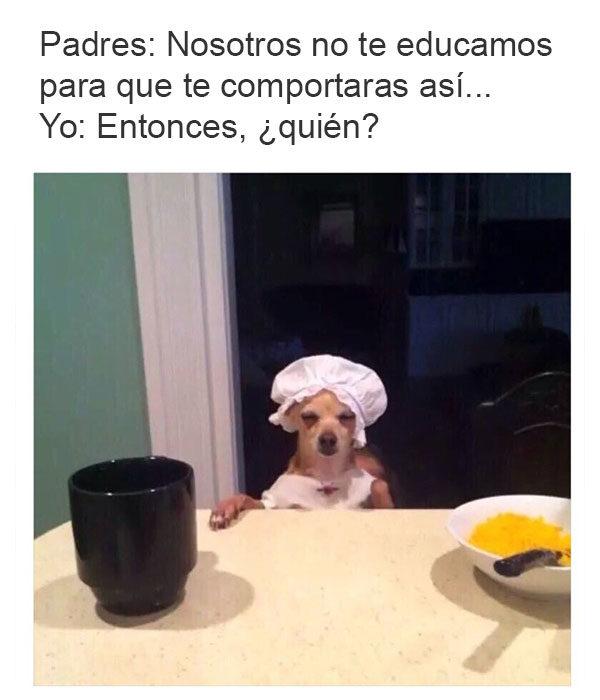 mis padres me hicieron así perro chihuahua cocinero