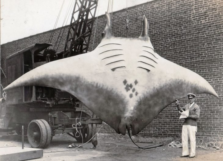 mantarraya gigante pescada