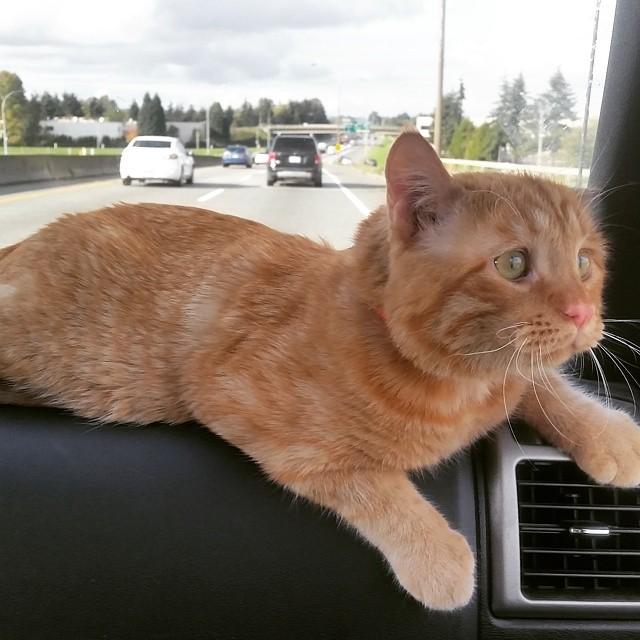 gato en el carro paseando