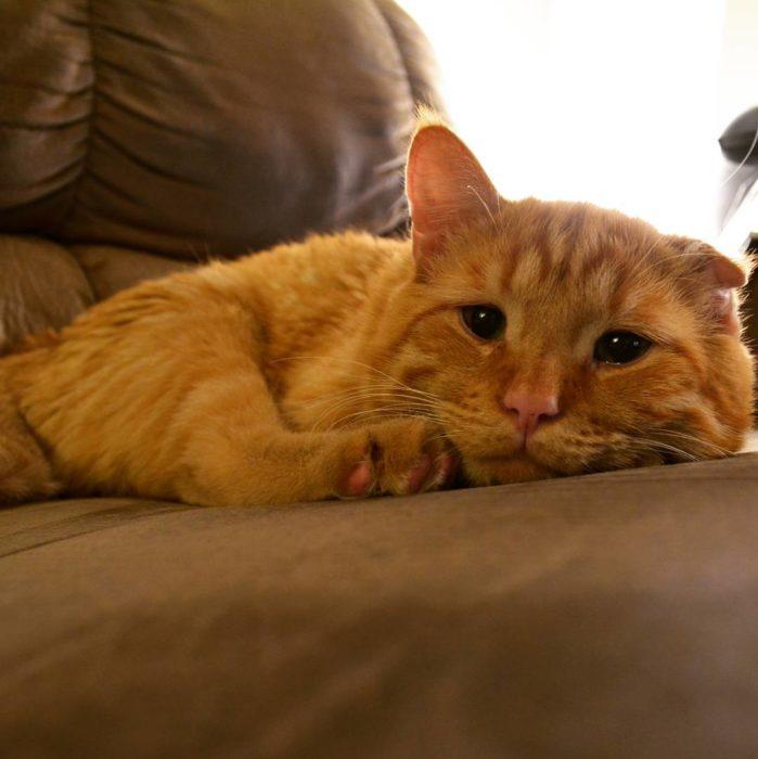 gato acostado ene l sillón