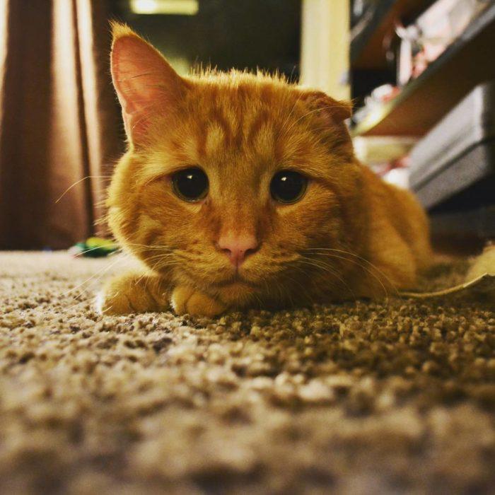 gato sin una oreja