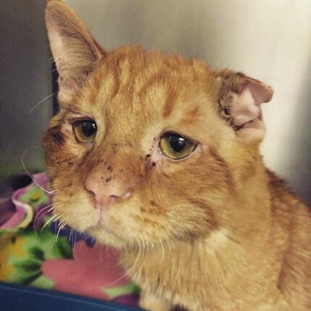 gato sin una oreja maltratado refugio triste