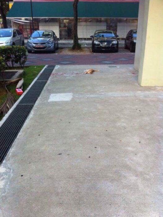 gato tirado de lejos