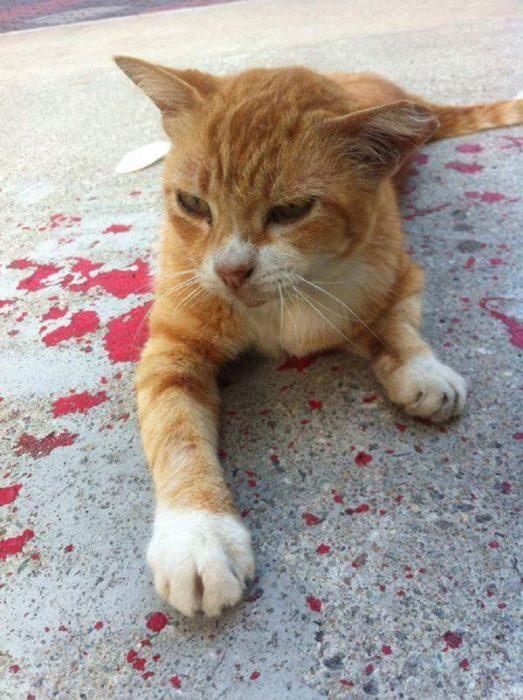gato sobre gotas rojas