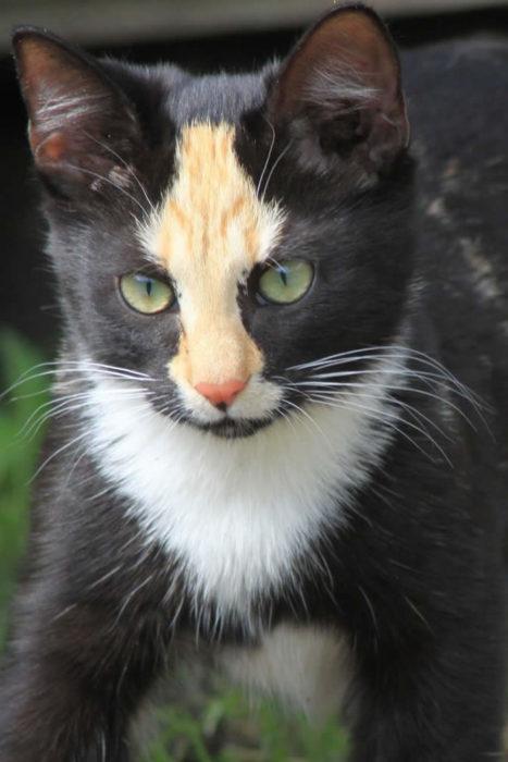 gato blanco con negro y cafe en su frente