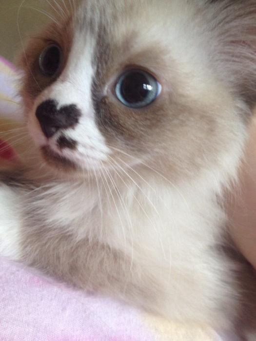 gato con marca de corazón en su nariz