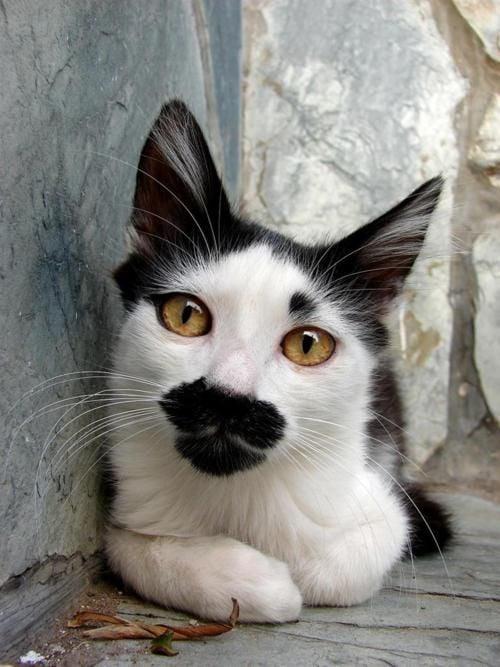 gato con marcas negra en su ocico