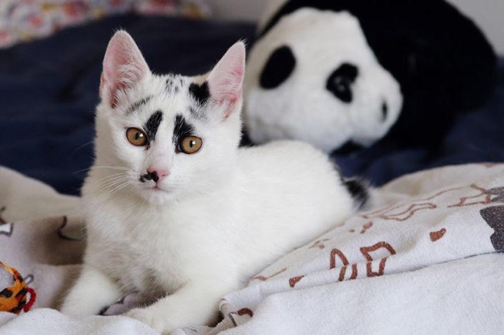 gato con marcas negras en sus ojos