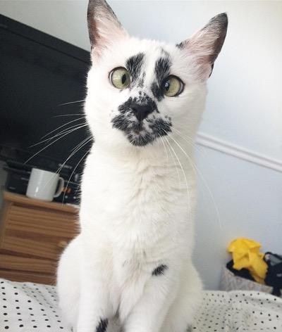 gato bizco con manchas negras en su cara