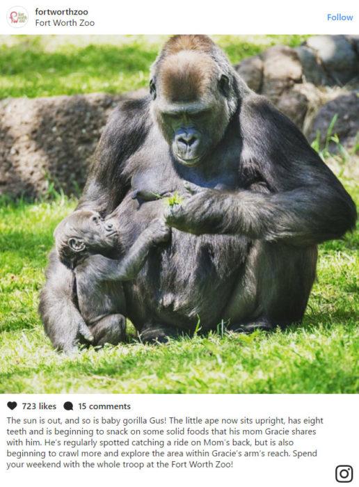 Gus gorila