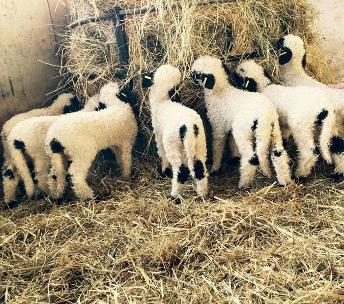 ovejas cara negra bebés
