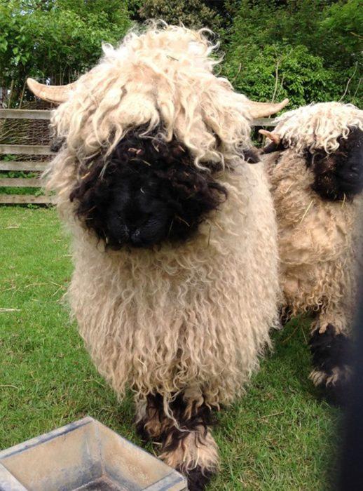 oveja cara negra cuernos