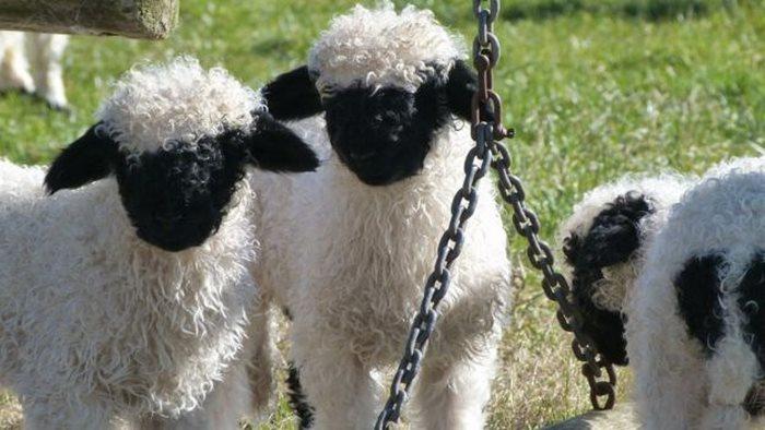 ovejas cadena columpio