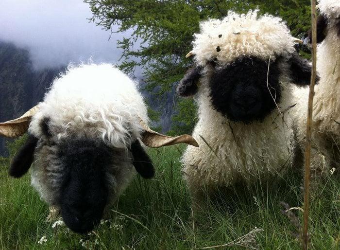 dos ovejas cara negra