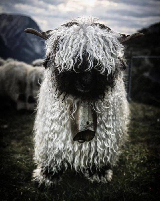 oveja negra cara