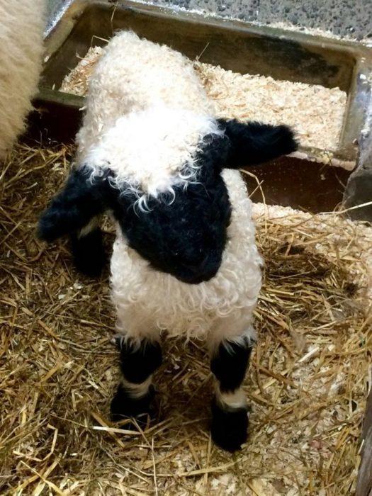 oveja cachorro bebé