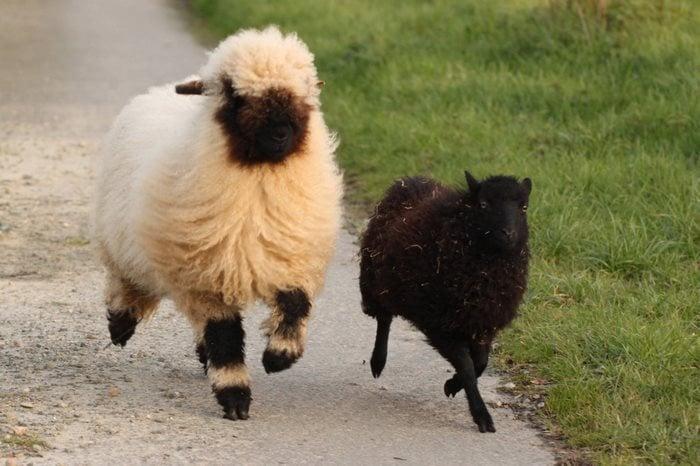 oveja persiguiendo a un borrego negro