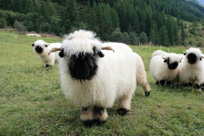 pasto oveja cara negra lomo blanco