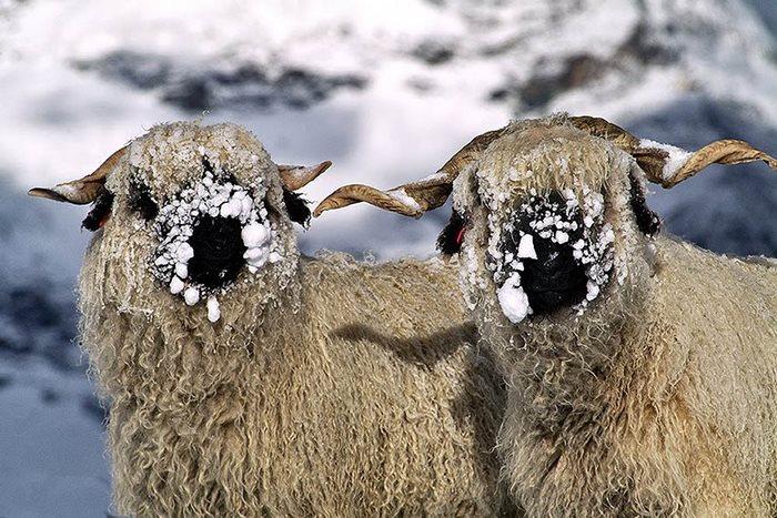 nieve montañas ovejas