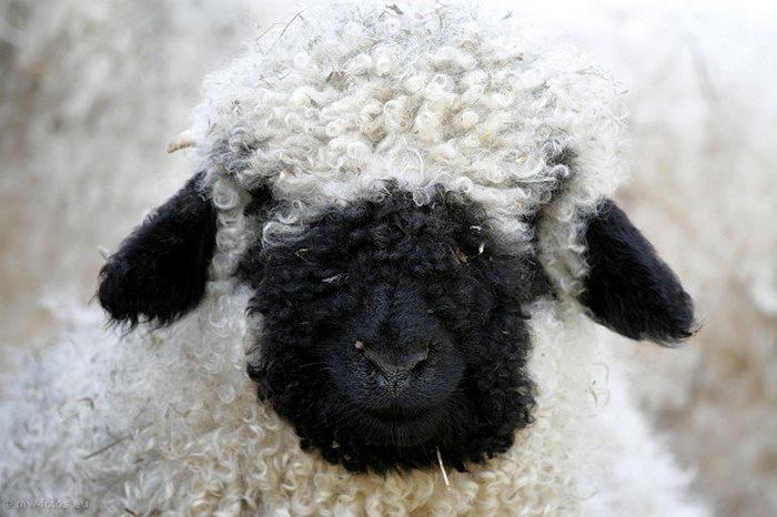 rostro oveja negra