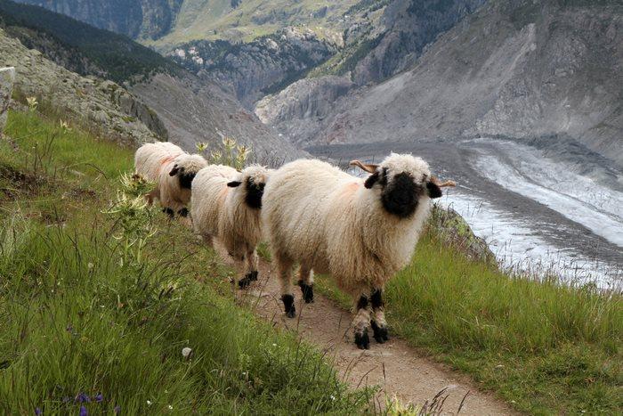 ovejas en el risco montañas