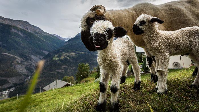 montañas oveja inglaterra