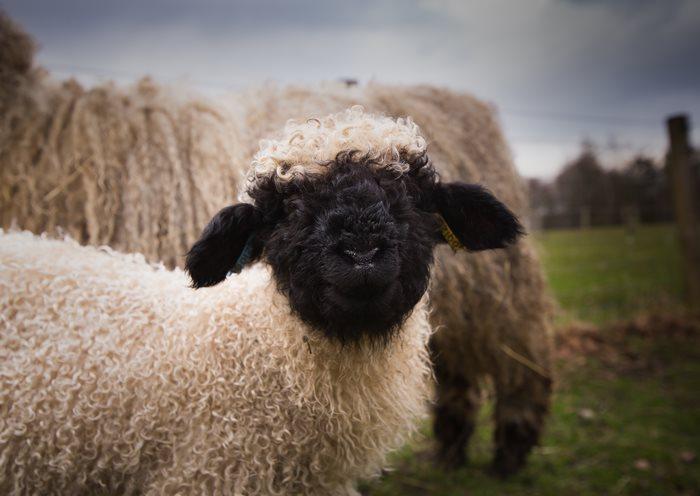 oveja de cara obscura