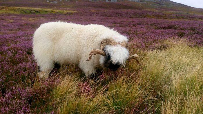 pradera lila oveja cara negra