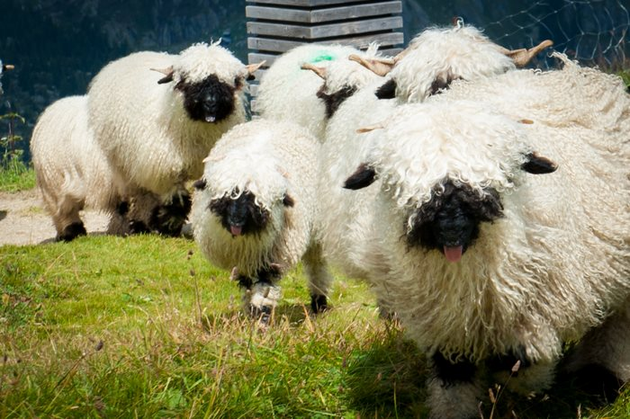 ovejas con cara obscura