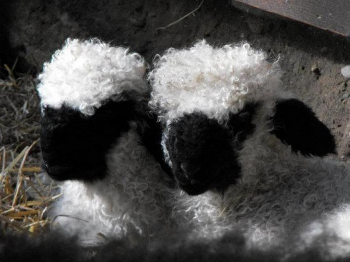 lana blanca cara negra