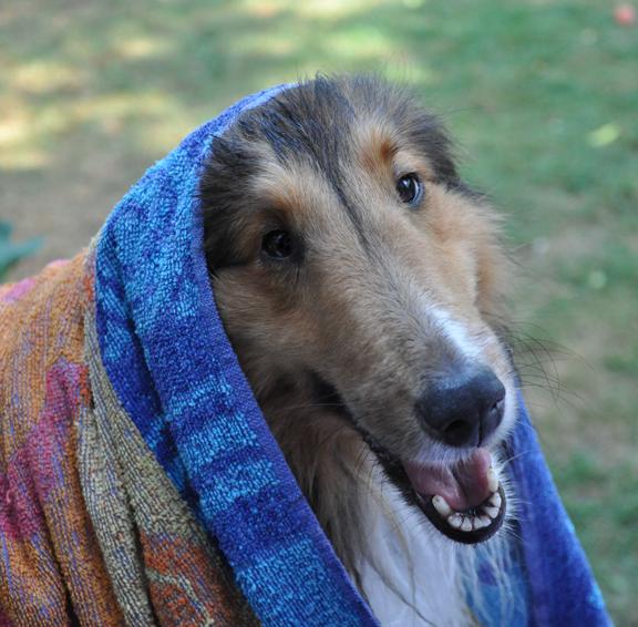 perro como lassie con mascada en la cabeza