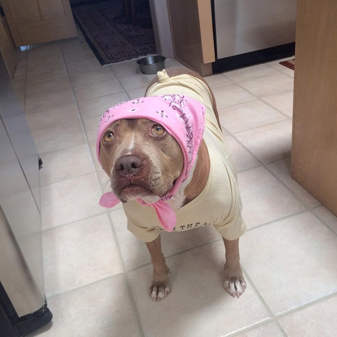 pitbull vestido como señora