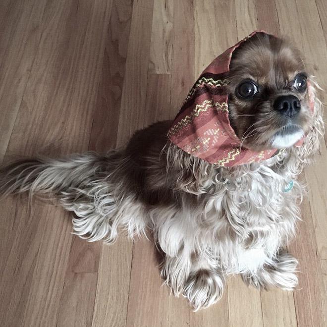 perro cocker parece señora