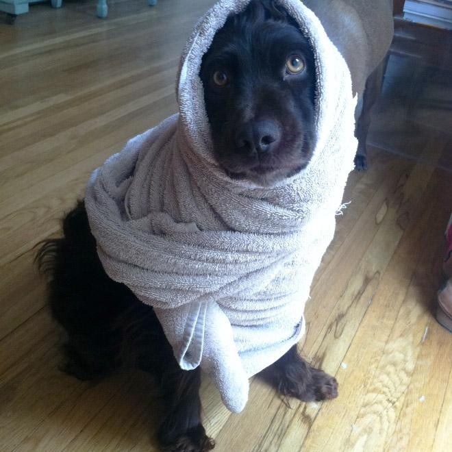 perro negro envuelto en toalla blanca